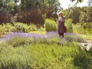 Lavendel im Apothekergarten